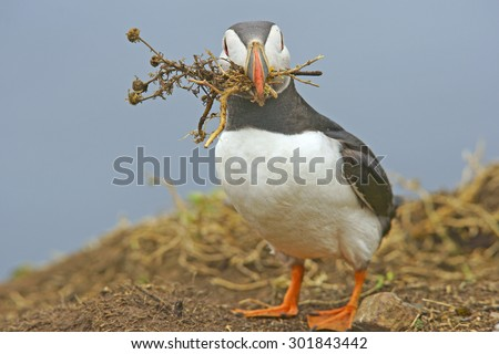 Atlantic Puffin (Fratercula arctica) with nesting material that it has just dug up in its beak just about to enter its burrow, Skomer Island, West Wales, Pembrokeshire, United Kingdom - stock photo