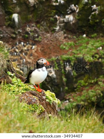 Atlantic Puffin, Iceland West Fjords - stock photo