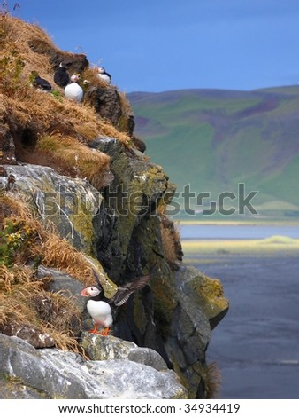 Atlantic Puffins colony, Dyrholaey Iceland - stock photo