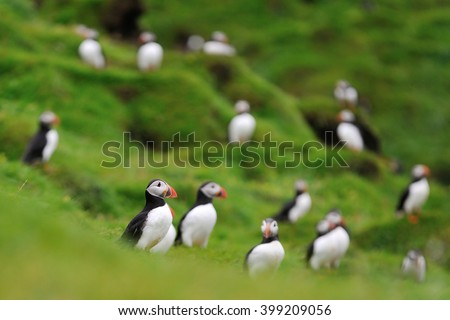 Atlantic puffins colony on the hill. Puffins on the hill. Iceland. Westman Islands.  - stock photo