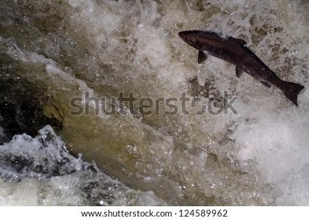 Atlantic Salmon (Salmo salar) leaping in turbulent waterfalls in Perthshire, Scotland - stock photo