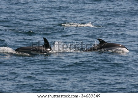 Atlantic White-sided Dolphins