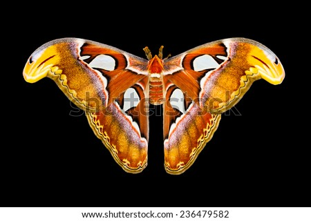 Atlas moth butterfly or Attacus atlas butterfly with open wings in a top view. Isolated on black. - stock photo