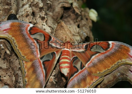 Atlas Spinner, Attacus atlas, the last larval stage, hatch - stock photo