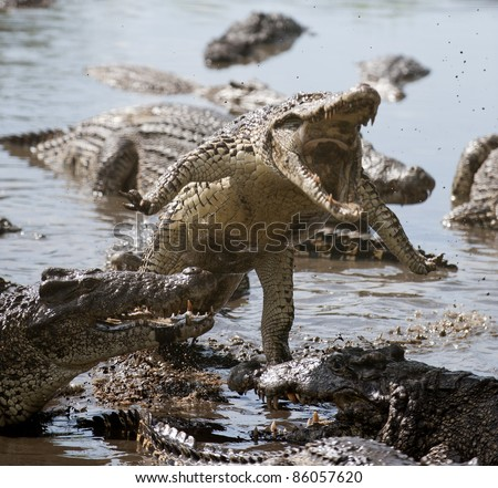 Attack crocodile. Cuban Crocodile (crocodylus rhombifer) - stock photo