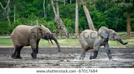 Attack of an elephant. The African Forest Elephant (Loxodonta cyclotis) is a forest dwelling elephant of the Congo Basin. - stock photo