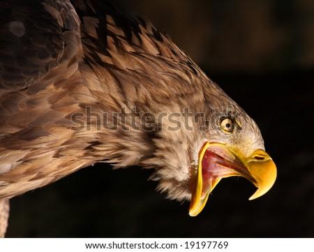 Attacking Golden Eagle - stock photo
