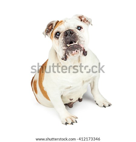Attentive Bulldog with bottom teeth sticking out sitting on white background - stock photo