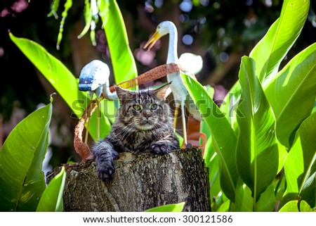 Attentive Cat Maine Coon looking around at nature - stock photo