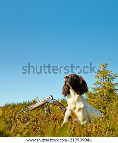 Attentive English springer spaniel puppy sits on the ground, sunny day - stock photo