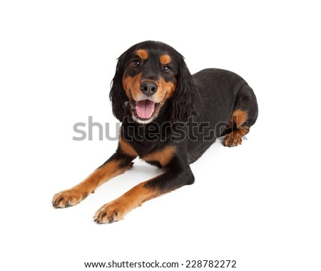 Attentive Gordon Setter Mix Breed Dog laying at an angle while looking directly at the camera.  - stock photo