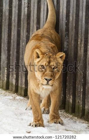 attentive lioness - stock photo