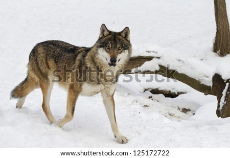attentive wolf - stock photo