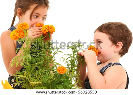 Attractive 3 and 5 year old brother and sister sniffing marigold flower over white background. - stock photo