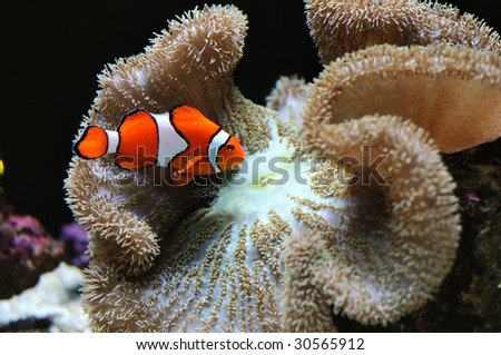 attractive clown fish over coral reef - stock photo