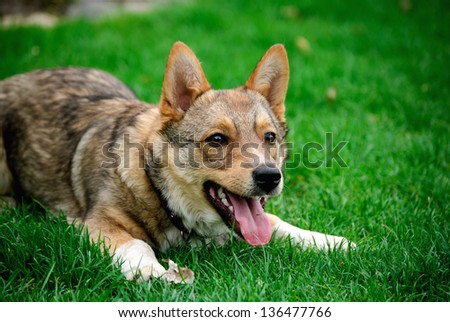 Attractive, cute dog lying on grass and want's to play - stock photo