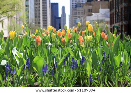 Attractive spring tulips in bloom in downtown Chicago