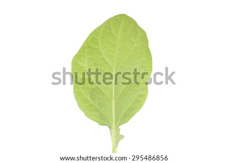 aubergine light green plant closeup - stock photo