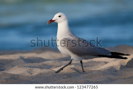 Audouin's gull at a beach on the island Mallorca, Spain