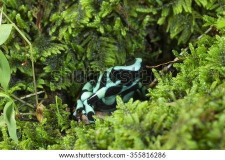Auratus Dart Frog; aka Green and Black Poison Dart Frog; Dendrobates auratus; Native to South America; controlled situation