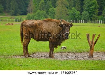 aurochs, animal - stock photo