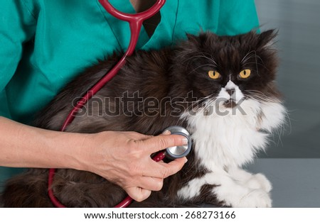 Auscultation beautiful Persian cat veterinary clinic - stock photo