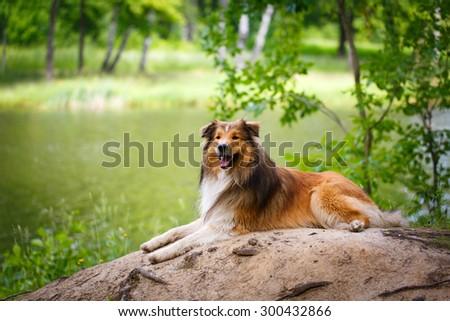 Aussie Collie dog - stock photo
