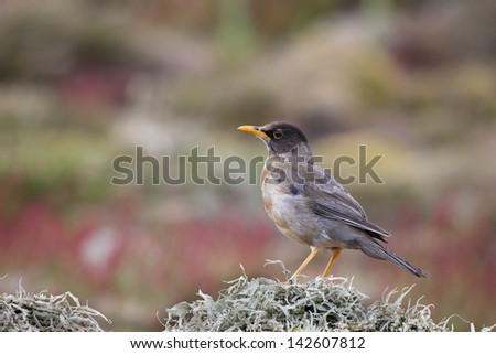 Austral Thrush (Turdus falcklandii falcklandii), Falkland subspecies, adult in worn plumage on Steeple Jason Island in the Falklands. - stock photo