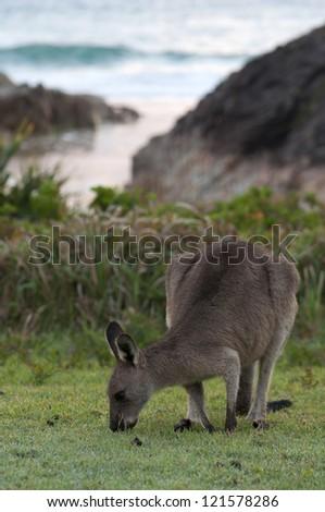 Australia - Kangaroo on a Beach - stock photo