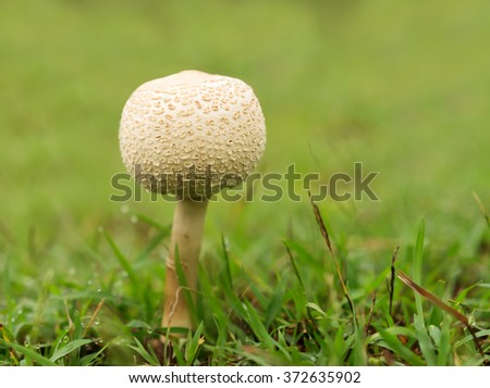Australia, Queensland new young mushroom growing through wet green grass - stock photo