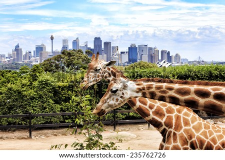 Australia Sydney city Taronga Zoo Giraffe place long neck spotted animals feeding green tree branch with cityscape of CBD landmarks in the background - stock photo