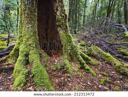 Australia Tasmania franklin river national park wild rainforest walking track giant hollow tree green of moss - stock photo