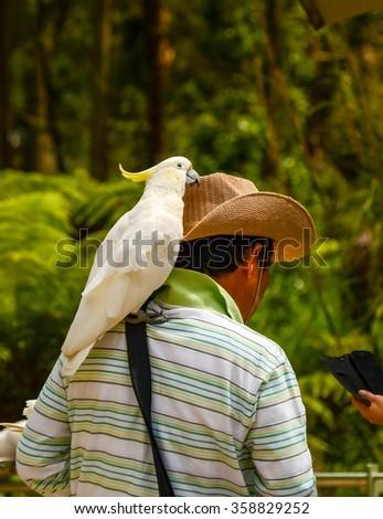 Australia. The State Of Victoria. Parrot cockatoo. - stock photo