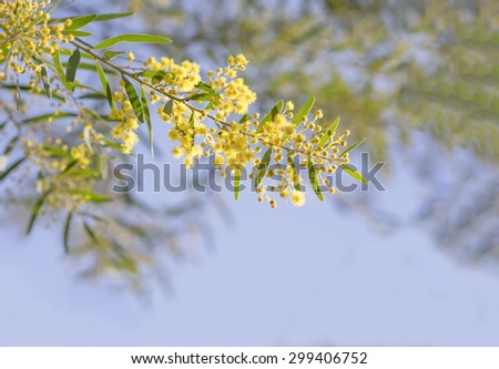Australia Winter and spring yellow wildflowers Acacia fimbriata commonly known as the Fringed Wattle or Brisbane Golden Wattle  - stock photo
