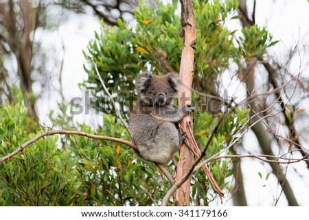 Australian Baby Koala Bear - stock photo