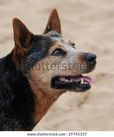 Australian Blue Heeler Cattle dog - stock photo