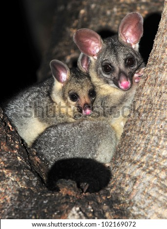 Australian brush tailed possum with baby in tree, Townsville, North Queensland, Australia. cute mammal mother with infant son daughter embracing affection - stock photo