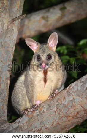 Australian Brushtail Possum, Trichosurus Vulpecula, Climbing A Tree In A  Sydney Backyard. Chest