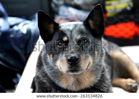 Australian Cattle Dog, Blue Heeler laying on bed - stock photo