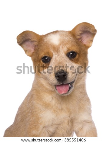 Australian cattle dog head puppy  shot with mouth open and tongue out isolated