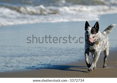 Australian cattle dog is running by San Francisco Bay. - stock photo
