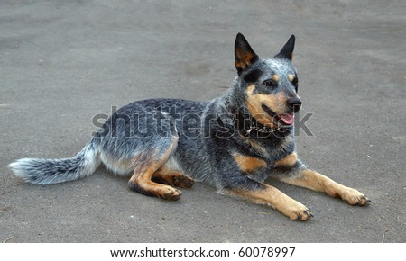 Australian Cattle Dog Lying on Grey Sealing - stock photo