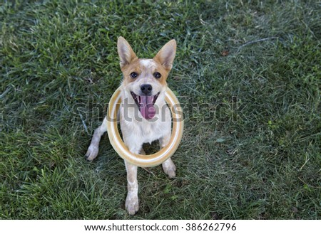 Australian cattle dog outdoors waiting to play fetch with ring around neck