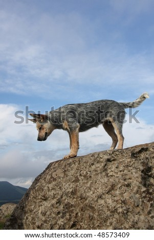 Australian Cattle Dog proudly standing on a rock looking down