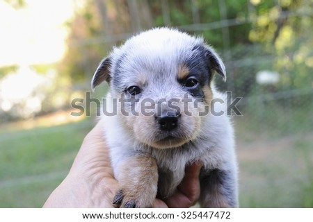 Australian Cattle Dog puppies aged 3 weeks. aka Blue Heelers the breed is a cross between dingo and blue merle collie.  - stock photo