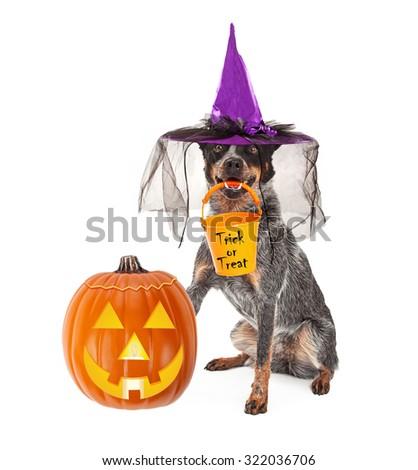 Australian Cattle dog sitting next to a Halloween jack-o-lantern pumpkin wearing witch costume holding trick-or-treat pail - stock photo