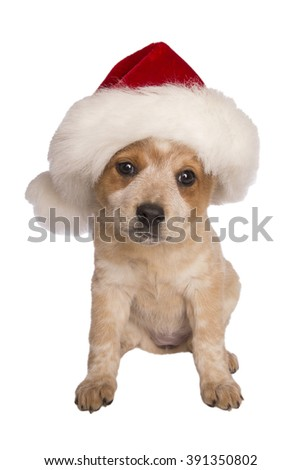 Australian cattle dog with santa hat on for christmas isolated on white background - stock photo