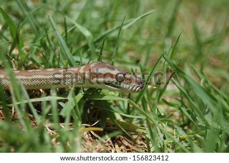 Australian Central Carpet Python, Morelia bredli, in the grass - stock photo