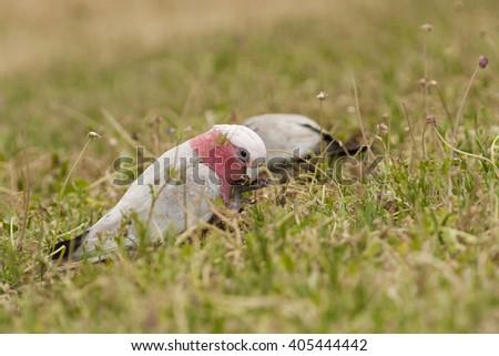Australian cockatoo eats seeds of grass, pink cockatoo, nice parrot from southern Australia, Galah Cockatoo - stock photo