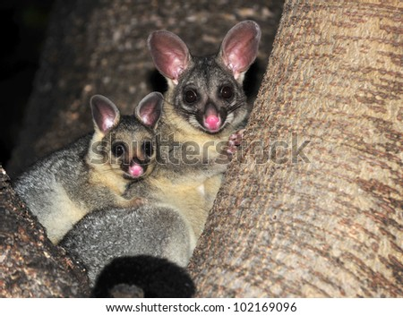 Australian common brush tailed possum with baby, Townsville, North Queensland, Australia - stock photo